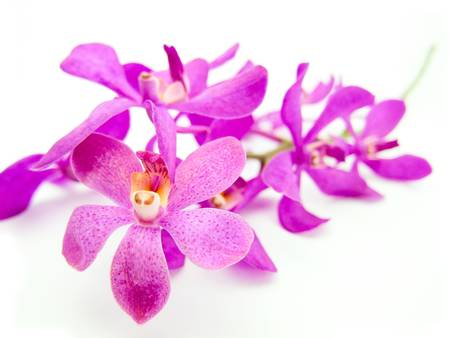 violaceous: Rhynchovanda Purple Lighting Orchid on white background Stock Photo