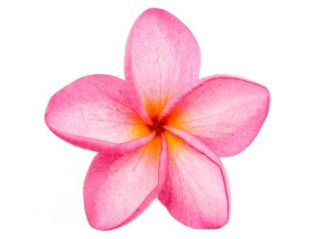 Pink Frangipani Plumeria flower photo