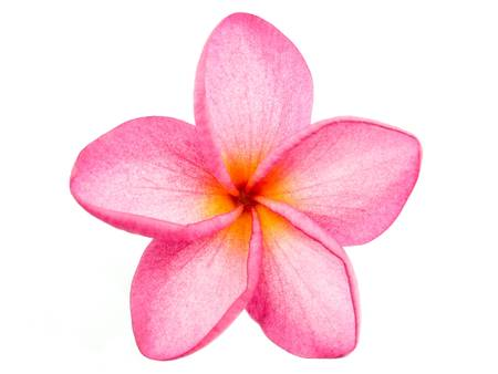 Rosa Frangipani Plumeria Blume