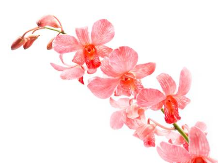 dendrobium: Pink Orchid on white background
