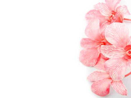 Pink Orchids on edge with blank white background photo