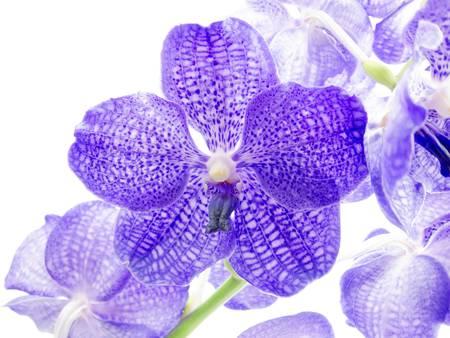 vanda: Blue orchid on white background