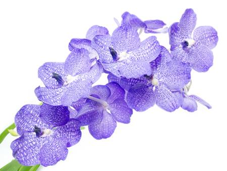 Blue orchid on white background photo