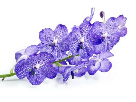 dendrobium: Blue Orchid On White