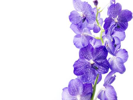 dendrobium: Blue Orchid Isolated On White Background
