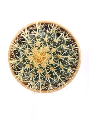 a close up of an echinocactus in a pot photo