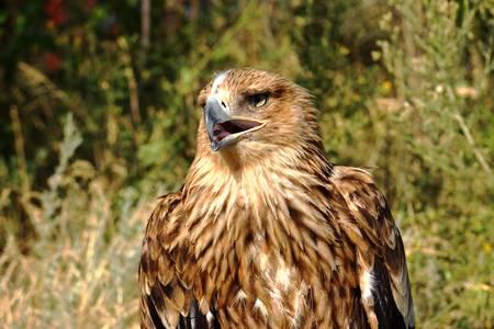 platypus: eagle