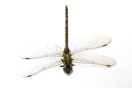 dragonfly, beautiful insect, sitting on a white background