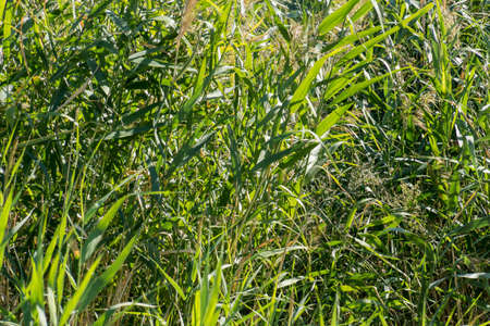 thickets: Thickets of reeds in the city center.