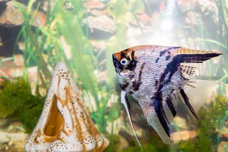 fishtank: Beautiful fish swim in a home aquarium Stock Photo