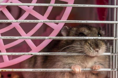Grauer Hamster sitzt in seinem Käfig