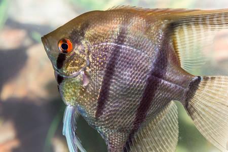 Beautiful fish swim in a home aquarium Stock Photo