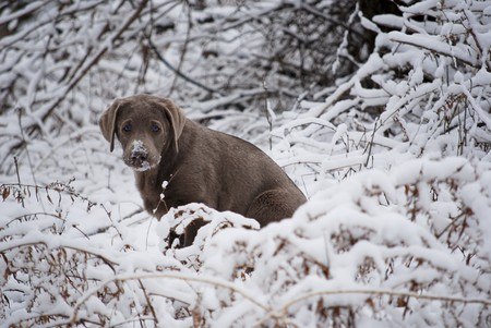 silver: Rare silver lab puppy poses in the snowy bushes.