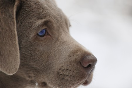 upclose: An up-close profile of silver lab puppy with his piercing blue eyes.
