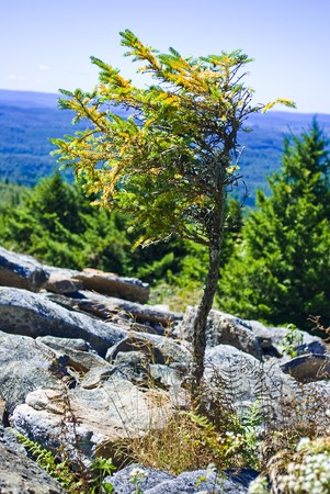 One-sided miniature spruce tree at the top of Spruce Knob. Stock Photo - 7847021