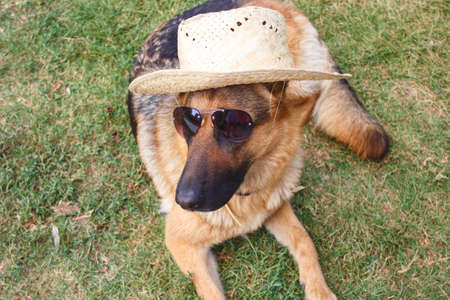 German shepherd dog lying down and sunglasses and straw hat
