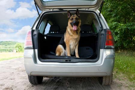 pastor de ovejas: Perros que viajan en el coche