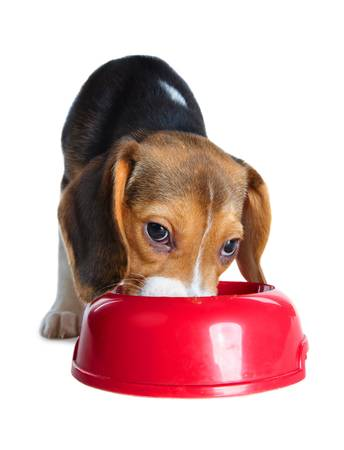 Cute beagle puppy eating from a dish Stock Photo