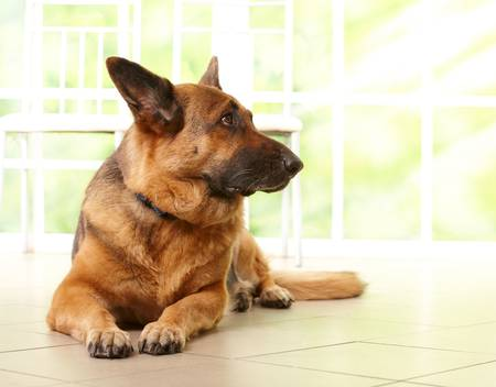 German shepherd dog looking aside and laying on the floor in home with sunny window in the background photo