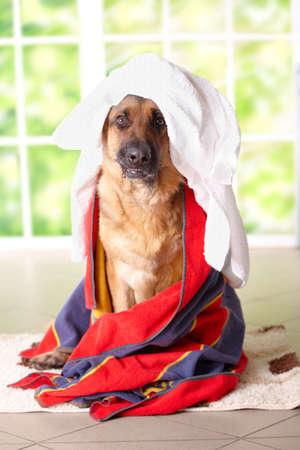habitacion desordenada: Perro de pastor alem�n en toallas sentado en el interior. Concepto de despu�s de ba�o o l�o  Foto de archivo
