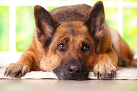 dog house: German shephard dog looking aside and laying on the floor in home waithing for her owner, with sunny window in the background Stock Photo