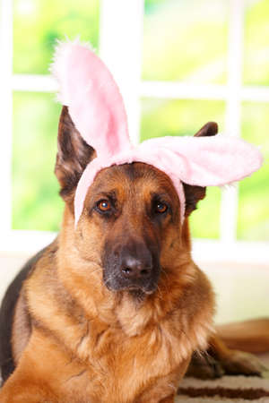 Easter bunny dog with rabbits ears on the head laying in home, German shepherd photo
