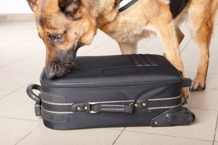 Airport canine. Dog sniffs out drugs or bomb in a luggage. Imagens
