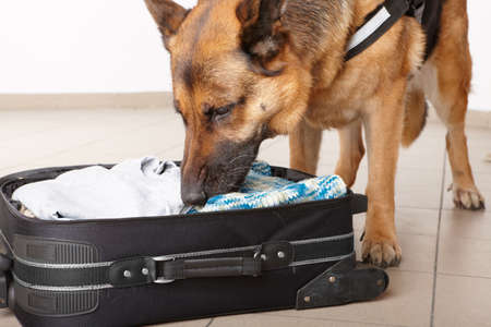 Airport canine. Dog sniffs out drugs or bomb in a luggage. Stock Photo