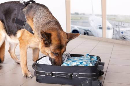 Airport canine. Dog sniffs out drugs or bomb in a luggage. Stock Photo - 8887524