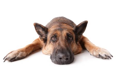 shephard: German shephard dog laying on white background.