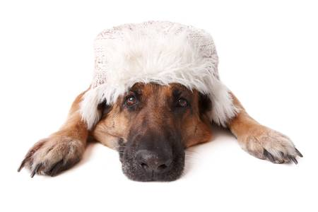 shephard: German shephard dog wearing winter hat laying on white background.