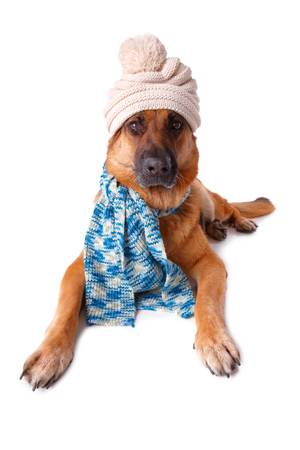 German shephard dog wearing winter hat and scarf isolated over white background