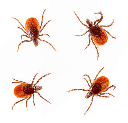 Ticks isolated over white background. Tick is the common name for the small arachnids  in superfamily Ixodoidea that, along with other mites, constitute the Acarina.  Stock Photo