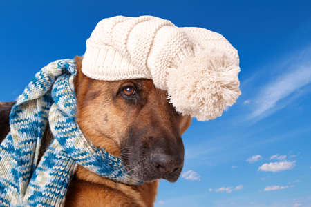 shephard: German shephard dog wearing winter hat and scarf with blue sky background.