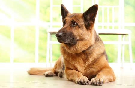 shephard: Tedesco shephard cane alla ricerca da parte e posa sul pavimento in casa waithing per il suo proprietario, con finestra soleggiata in background Archivio Fotografico