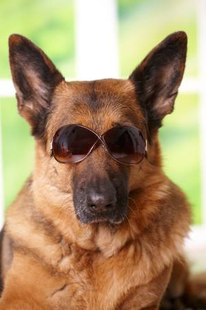 Dog with sunglasses laying in home photo