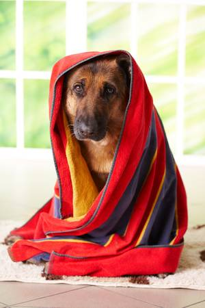 shephard: Dog, german shepherd in towel sitting inside Stock Photo