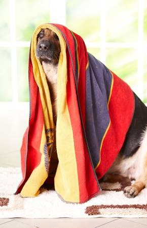 Dog, german shepherd in towel sitting inside photo