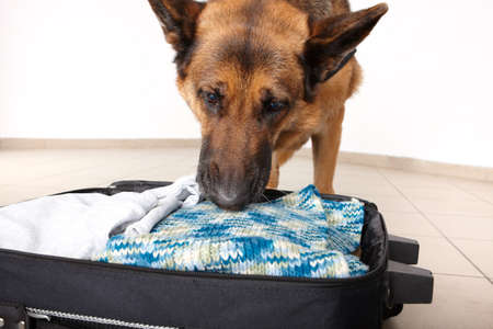 sniffing: Airport canine. Dog sniffs out drugs or bomb in a luggage. Stock Photo