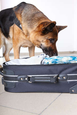 sniffer: Airport canine. Dog sniffs out drugs or bomb in a luggage. Stock Photo