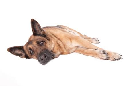 shephard: Tedesco cane Shephard, che su sfondo bianco.