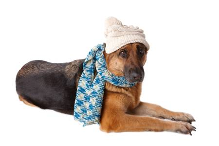 shephard: German shephard dog wearing winter hat and scarf isolated over white background