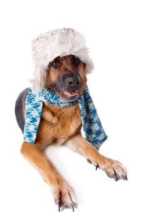 shephard: Tedesco Shephard cane indossando cappello e sciarpa inverno isolato su sfondo bianco Archivio Fotografico