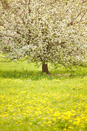 Flowering tree in a meadow, sunny day, springtime photo