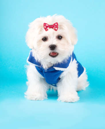 white maltese: Cute and fluffy young Maltese puppy, wearing red bow and blue dog coat