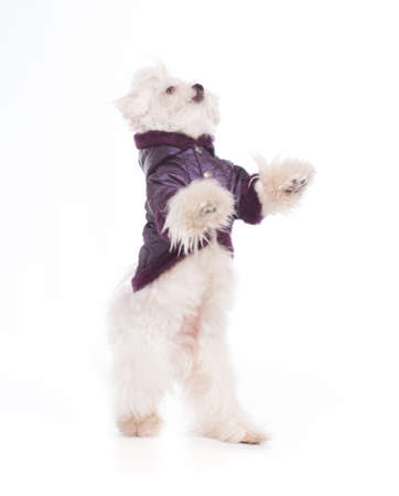 Cute and fluffy young Maltese puppy, standing on hind legs, wearing violet dog coat Stock Photo