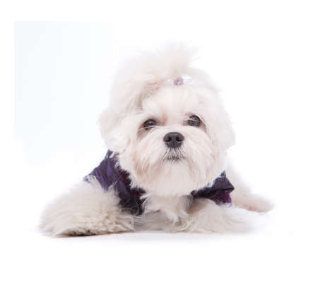 maltese dog: Cute and fluffy young Maltese puppy, wearing violet dog coat