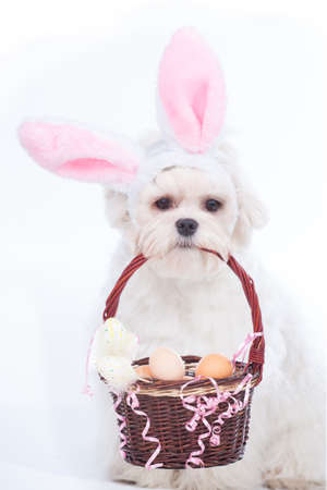 fluffy ears: Cute and fluffy Maltese as a bunny for Easter  Stock Photo