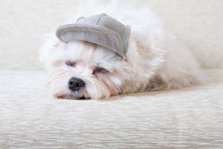 white maltese: Cute and fluffy young Maltese, wearing cap, sleeping on sofa