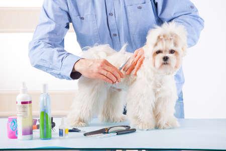 Lächelnde Menschen pflegen einen Hund purebreed Malteser mit einer Schere